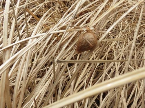 ナガコガネグモの卵嚢 VC200214