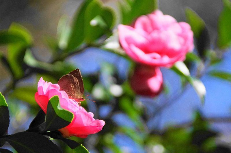 ムラサキシジミ訪花・1