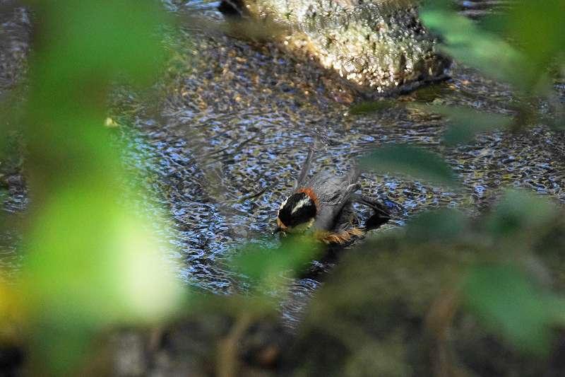 ヤマガラ水浴び・9