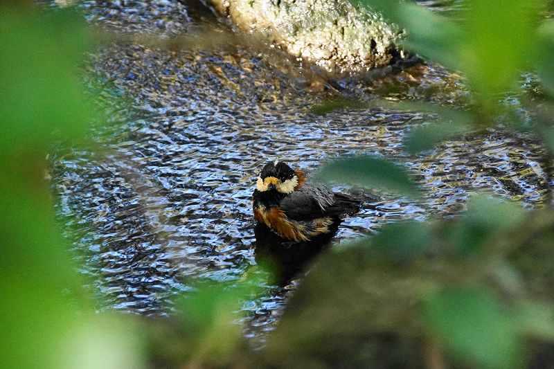 ヤマガラ水浴び・10