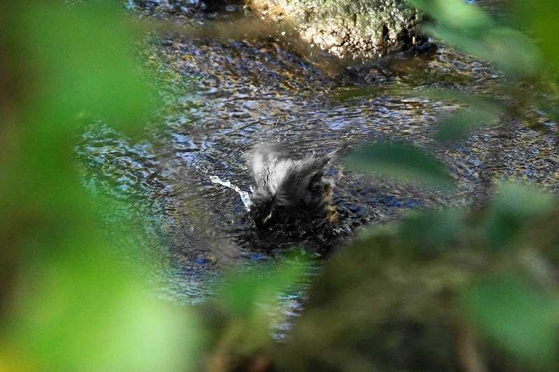 ヤマガラ水浴び・12