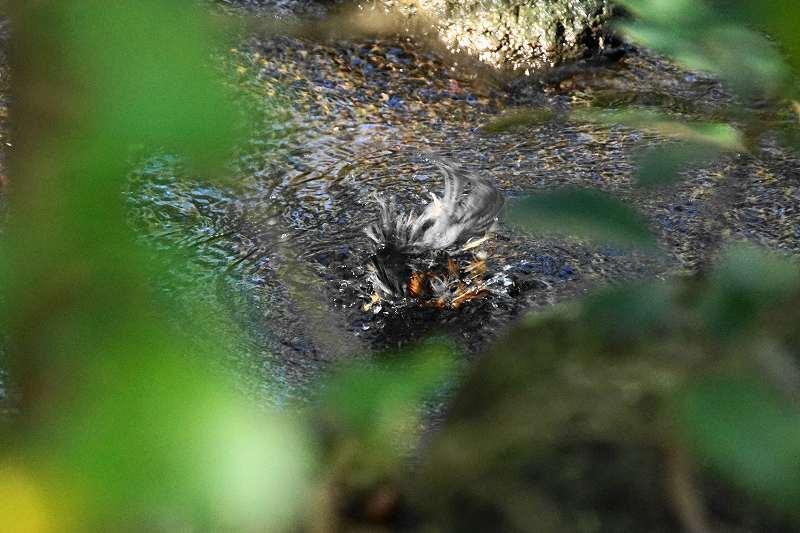 ヤマガラ水浴び・16