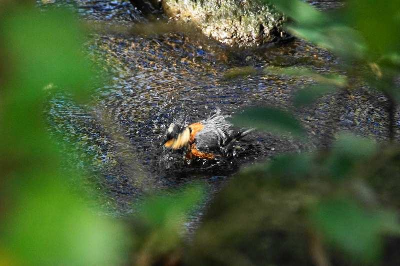 ヤマガラ水浴び・18