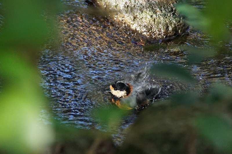 ヤマガラ水浴び・8