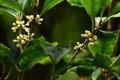 ギンモクセイの花