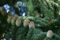 ヒラマヤ杉の球果(1)