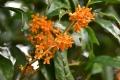 キンモクセイの開花