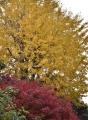19イチョウの黄葉