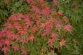 19モミジ 紅葉