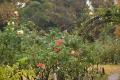 19庭のバラ 秋