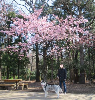 西園の川津桜