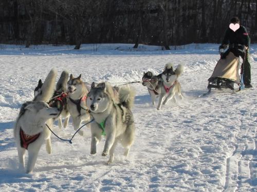 犬橇多頭引き混合チーム