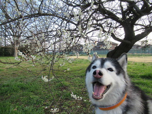 梅の花とスフレ