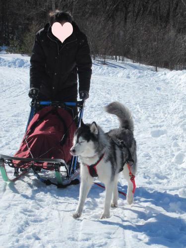 橇犬スフレ