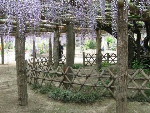 春日部市・牛島の藤