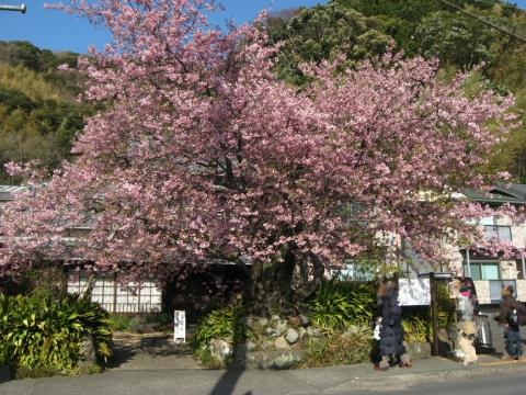 河津桜の原木201803