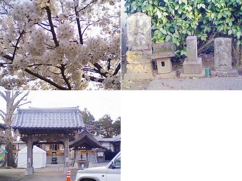 こぶ観音の桜(索引記事用)