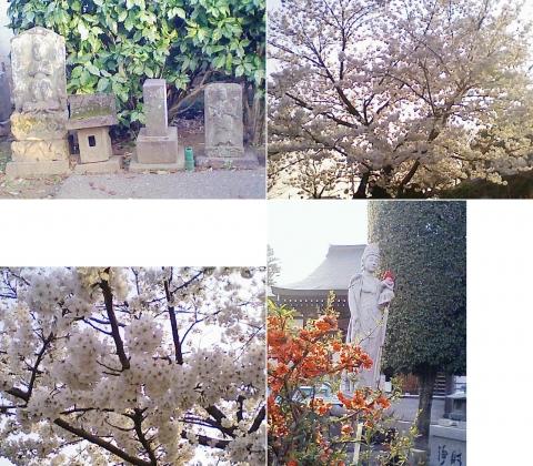 こぶ観音の桜201303(その2)