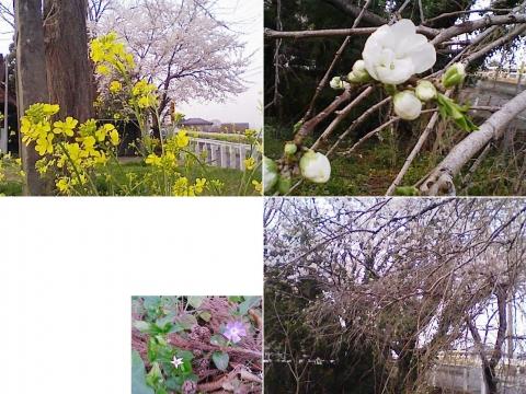邑楽町中野、長良神社の桜201303(その5)