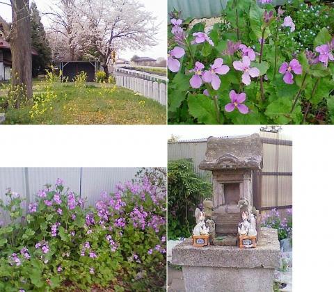 邑楽町中野、長良神社の桜201303(その4)