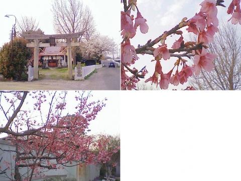 邑楽町中野、長良神社の桜201303(その2)