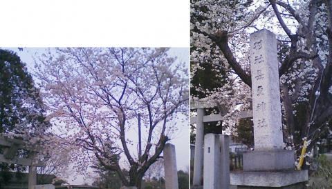 邑楽町中野、長良神社の桜201303(その8)
