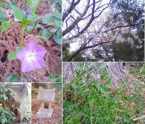 邑楽町中野、長良神社の桜201303(その6)