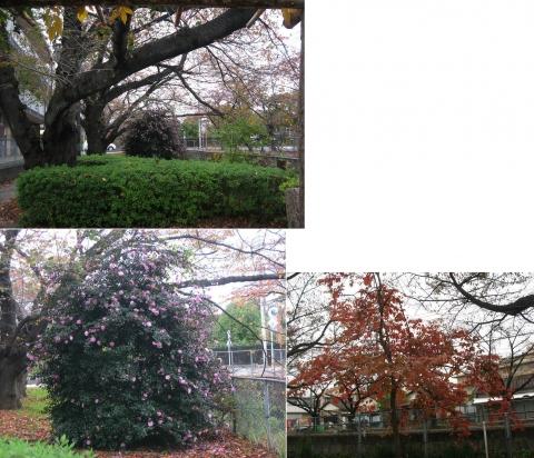 18桜並木の公園(連結その1)