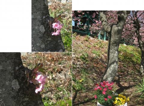 03河津桜の並木(連結その2)