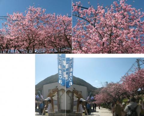 02河津桜の並木(連結その1)