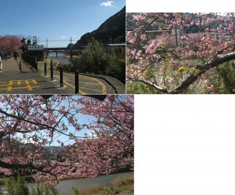 10河津桜の並木(連結その9)