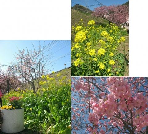 06河津桜の並木(連結その5)