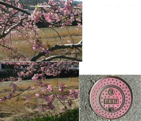 13河津桜の並木(連結その12)
