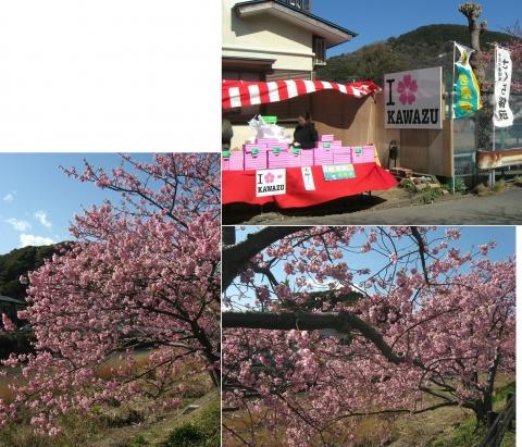 12河津桜の並木(連結その11)