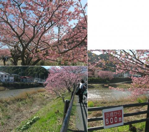 11河津桜の並木(連結その10)