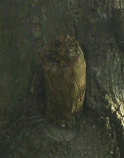 フクロウに見える木の幹(拡大)