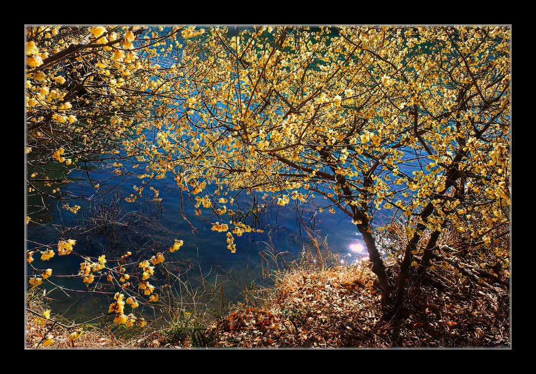 湖畔の蝋梅