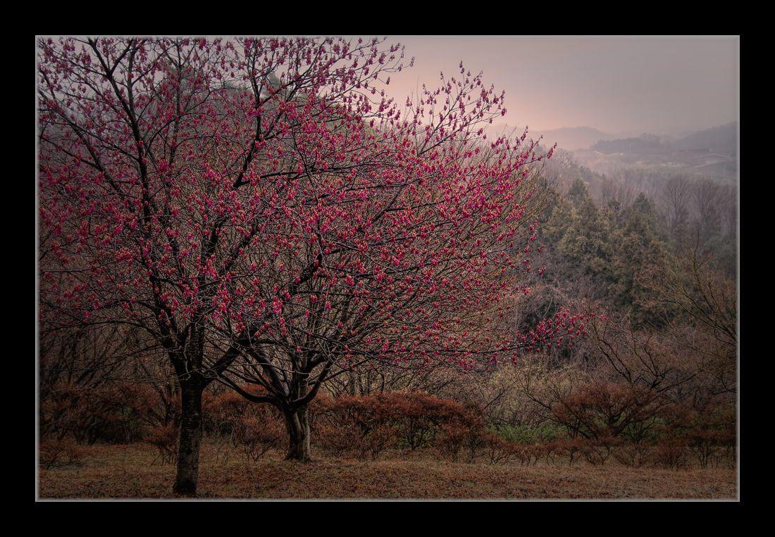 雨中の寒緋桜