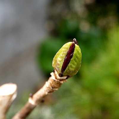 アジサイの花芽