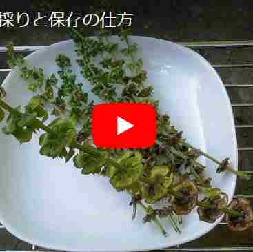 バジルの採種と保存動画