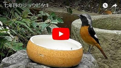 ジョウビタキ来庭の動画