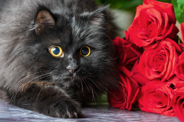 black-fluffy-cat-with-red-roses_76506-453.jpg