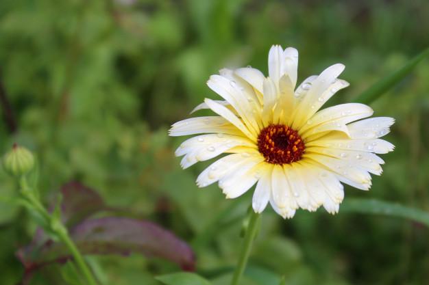 blooming-asters-white-flowers_120608-127.jpg