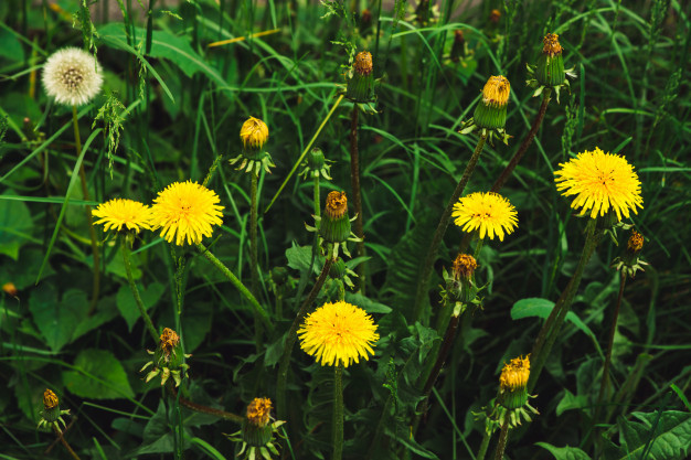 group-yellow-dandelions-green-lawn_102332-1289.jpg