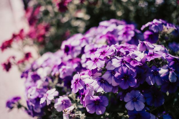 lilac-little-flowers_125525-89.jpg