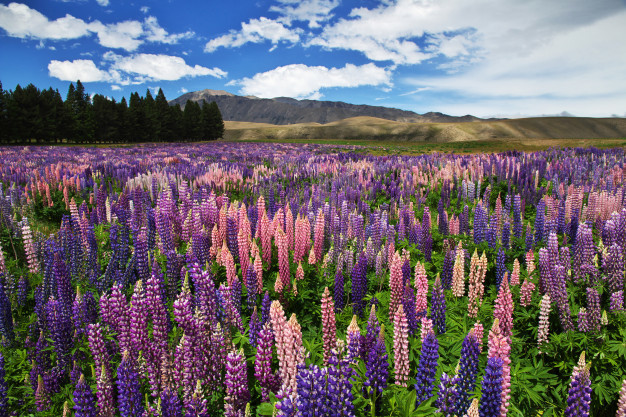 lupine-flowers-new-zealand_134785-471.jpg