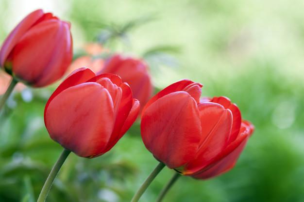 red-tulip-flowers-green-summer_127089-766.jpg
