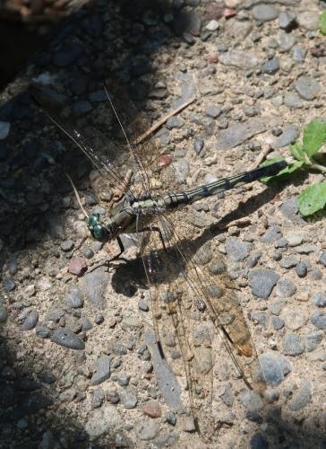 シオカラトンボ雌(ムギワラトンボ)
