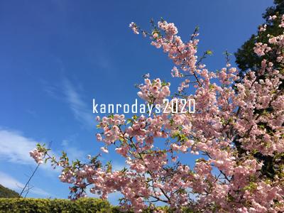 20200213_7桜
