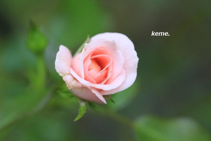 ピンクの薔薇b9月